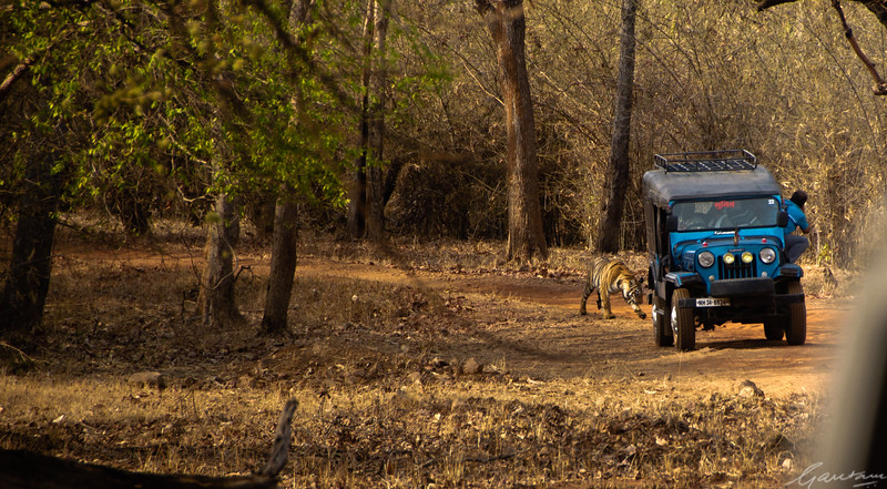 Tigers crossing, harassed by the crowds Tadoba, April 2012