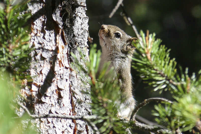 Squirrel in the Tetons