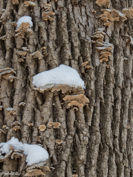 snowy fungus 010717.jpg