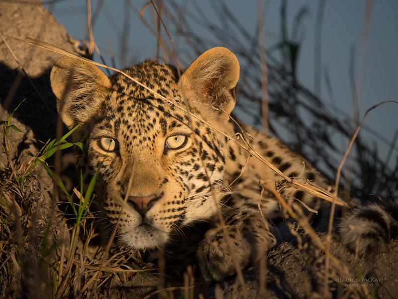 Leopard, Sabi Sands (EP), SA, Sept 2015.jpg