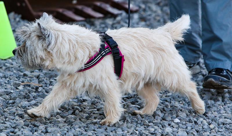 Cairn Terrier PP (2 of 7).jpg