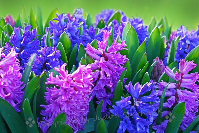 Hyacinth Hues.jpg