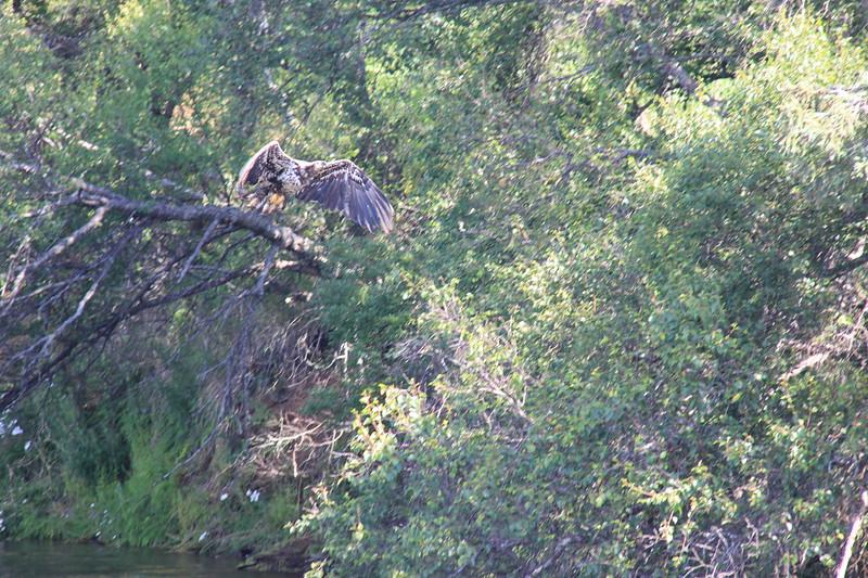 20160713-106 - Katmai NP-Brooks Camp-Juvenile Bald Eagle at Brooks Falls.JPG