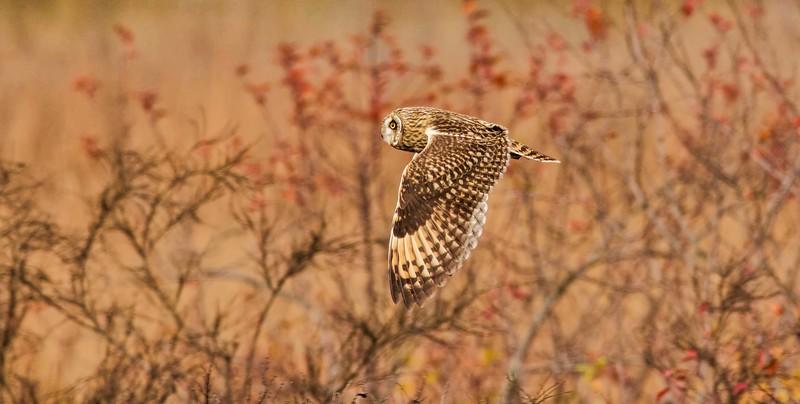 Short-eared Owl male