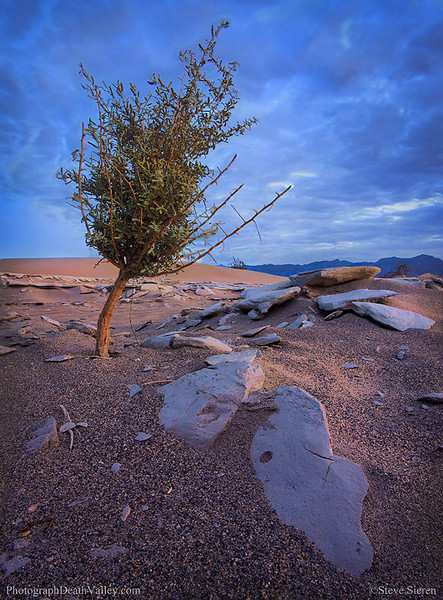Death_Valley_tree_in_mesquite_dunes B.jpg