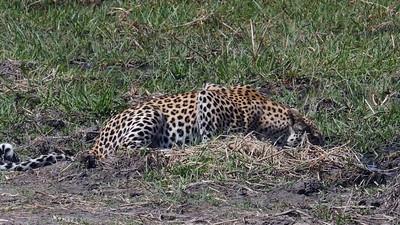Drinking Leopards Movie