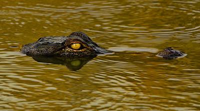 Alligators/Animals