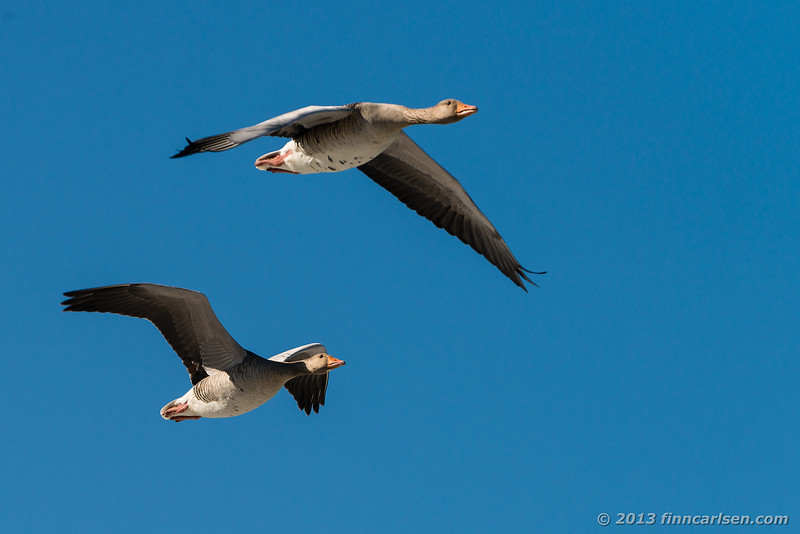 Grågås (Greylag Goose - )