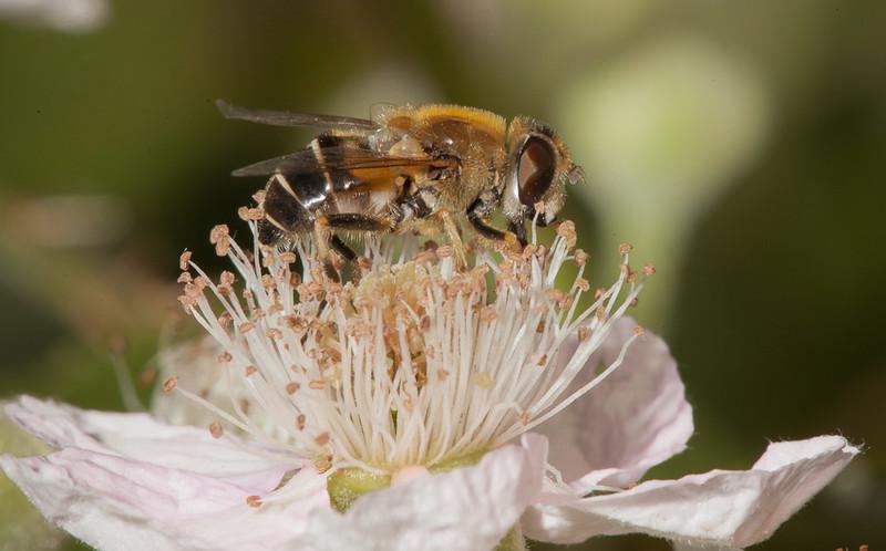 Hoverfly on blackberry flower.