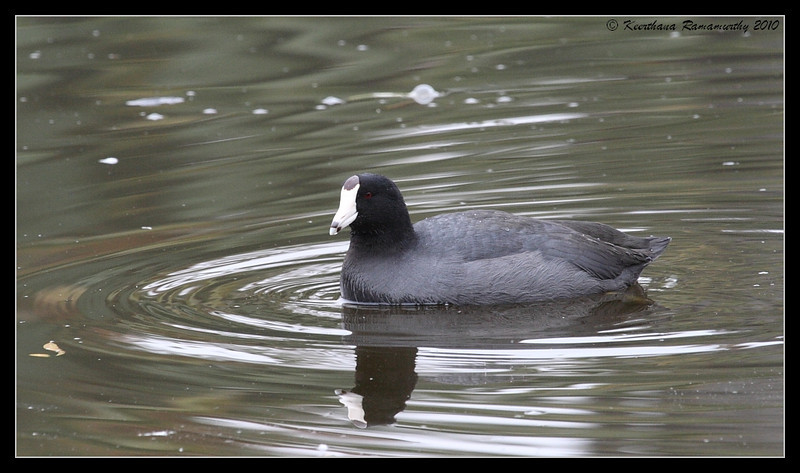 American Coot, Santee Lakes, San Diego County, California, November 2008