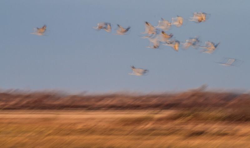 Sandhill Crane blur panning flight flyng fly in Crex Meadows Grantsburg WI IMG_1846.jpg