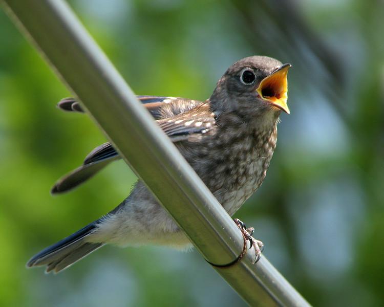 bluebird_fledgling_6755.jpg