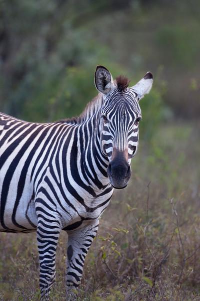 Zebra _MG_7603.jpg