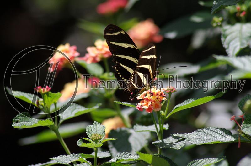 Zebra Butterfly. Villa Mercedes. Concepcion de Ataco, Ahuachapan, El Salvador.