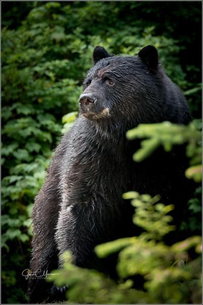 J85_5471 Black Bear L W.jpg