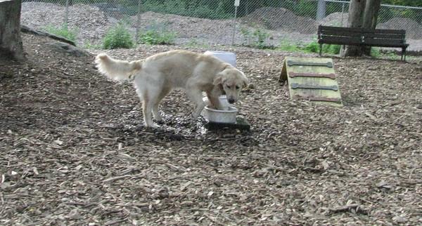 HAZEL (golden retriever pup)