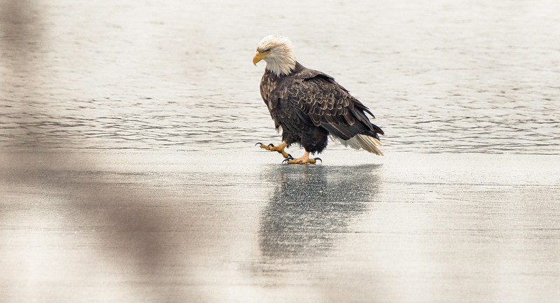 Eagle pacing on ice