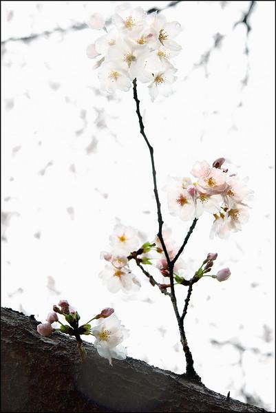 Lone Blossom.jpg