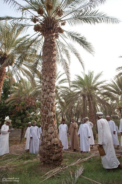 Palm Tree Auction 11- Mudhaibi.jpg