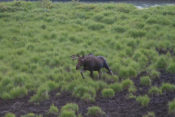 2011 - Alberta - Engadine Lodge - Moose