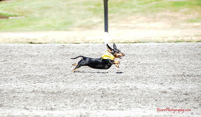 Wiener Dog Racing 7-14-2013
