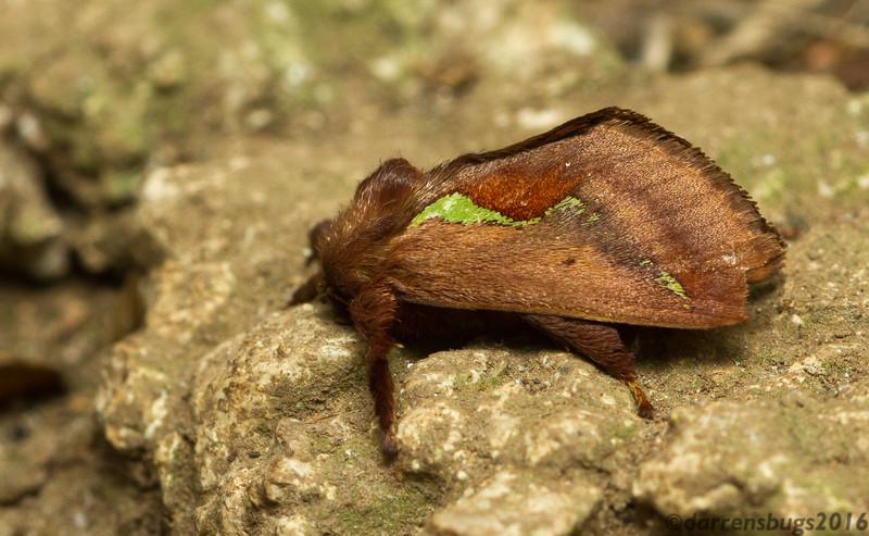 Slug caterpillar moth (Limacodidae: possibly Euclea sp.) from Monteverde, Costa Rica.
