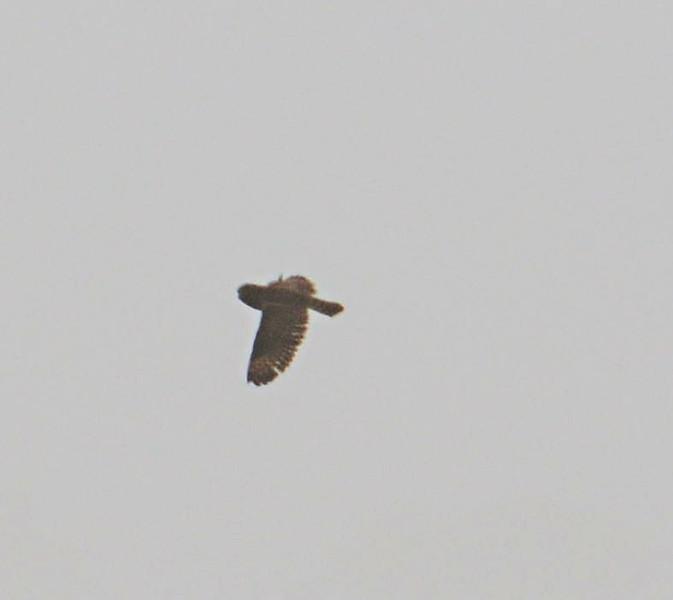 Short-Eared Owl - Salt Works - 10/27/13