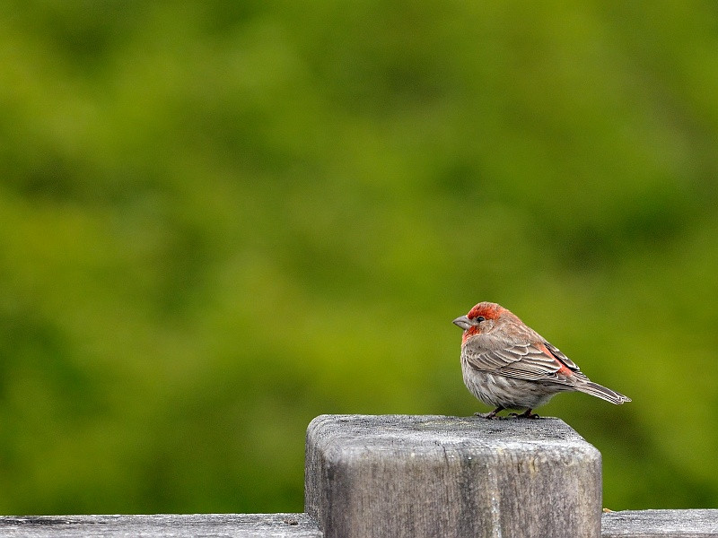 2 May 2010: A house finch on our deck.