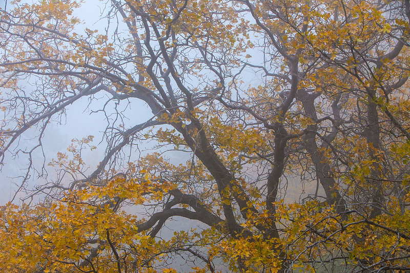San_Bernardino Mountains_Fall_Color_Fog_Black_Oaks_SoCal_MG_7253.jpg