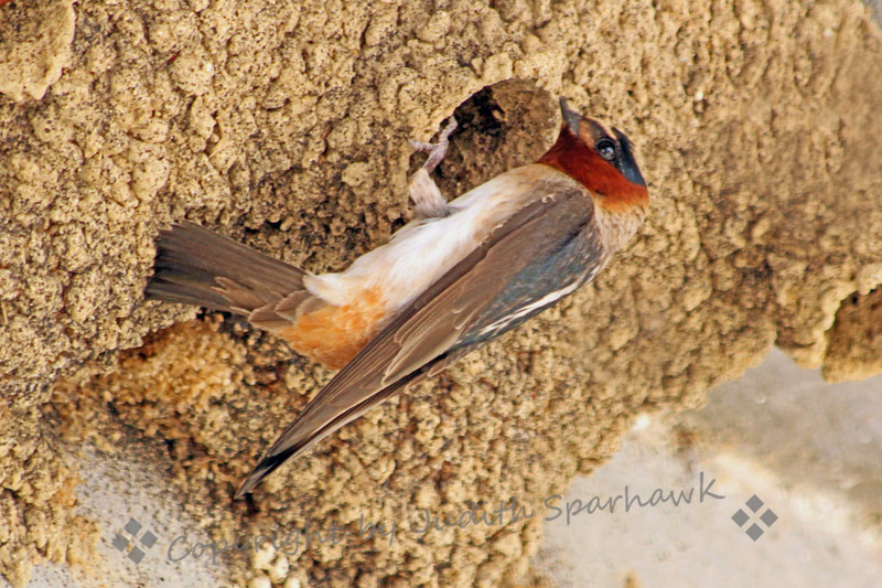 **Published in the August/September 2013                           National  Wildlife Magazine** Cliff Swallow at the Nest ~ This swallow had returned to the nest, and paused outside after feeding the birds inside. I loved seeing the colors and patterns on this bird, which we don't normally see when they swoop around in flight.