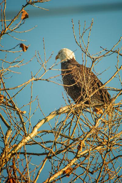 3.6.21 - Madison County: Bald Eagle