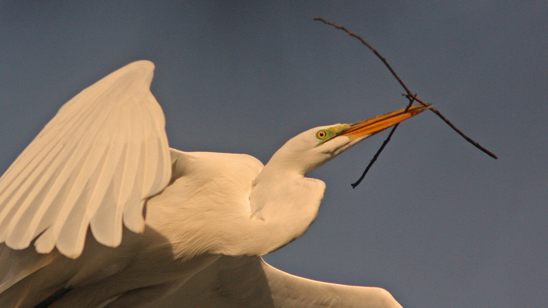 WB~Rookery egret stick wing close1280.jpg