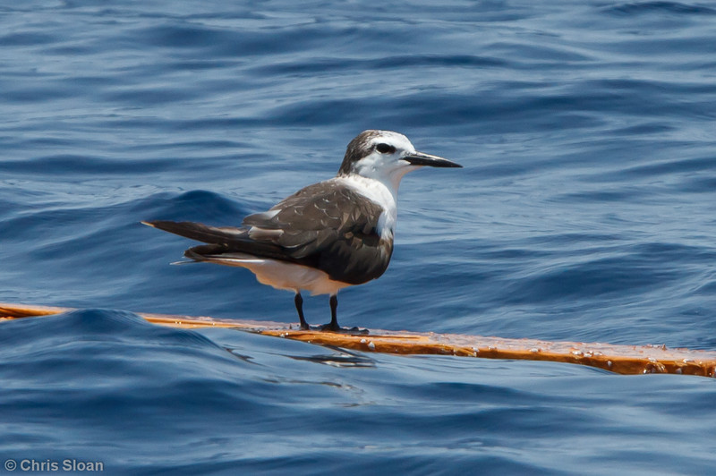 Bridled Tern first summer at pelagic trip off Hatteras, NC (06-04-2011) - 999.jpg
