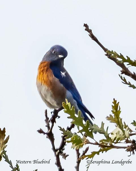 _DSC3491Western Bluebird.jpg