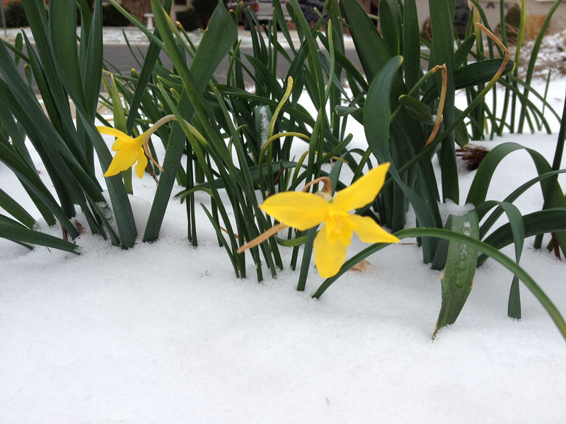 . Weather shot narcissus braving our paltry inch of snow in Loveland. Photo by Susan Clotfelter