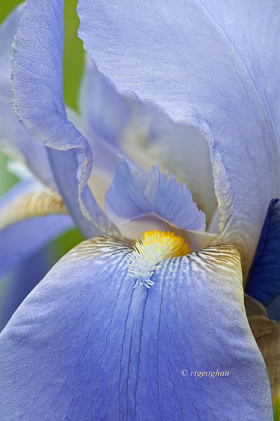 Bearded Iris Blue Blazes