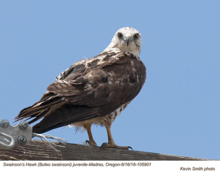 Swainson's Hawk J105901.jpg