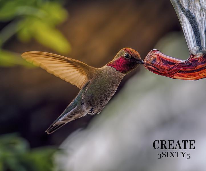 Photo #84 of 365 - Magnificent Hummingbirds!