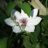 Single Clematis