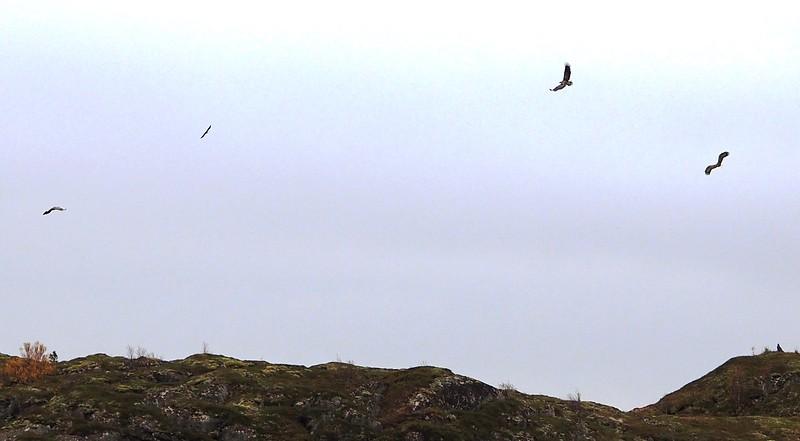 Sea eagles (32).JPG
