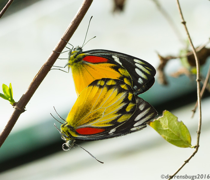 A pair of Redspot Jezebels mate on a leaf in the butterfly garden of the Siam Insect Zoo in Chiang Mai, Thailand.