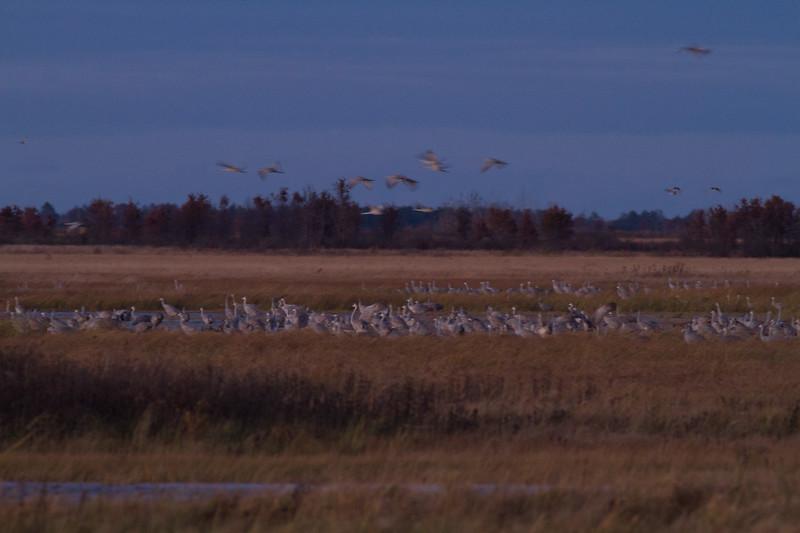 Sandhill Crane flock roosting at dusk Crex Meadows Grantsburg WI IMG_2284.jpg