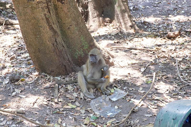Baboon, Zimbabwe
