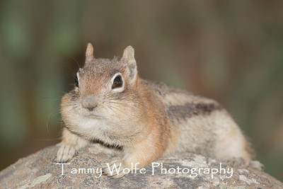 Squirrels  (Squirrels, Chipmunks, Marmots, Prairie Dogs,  Woodchucks)