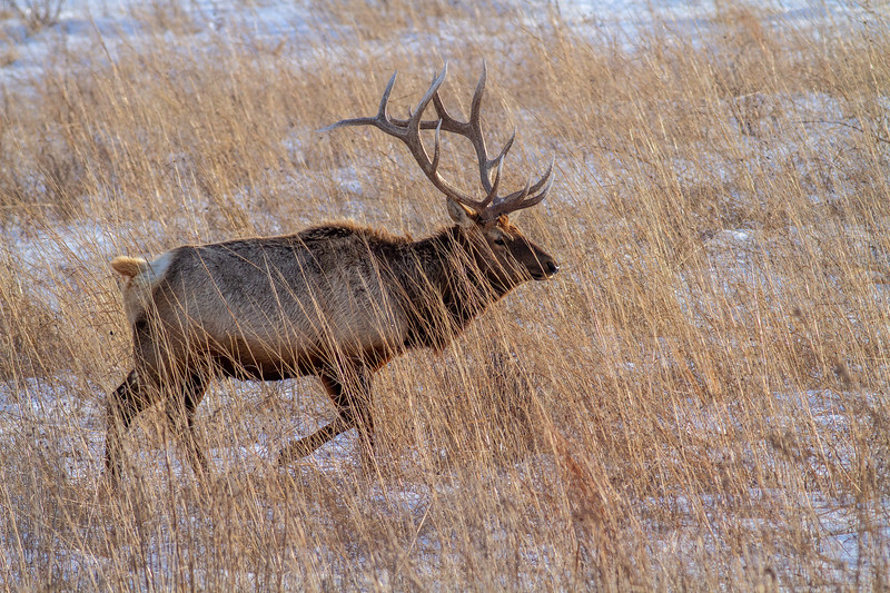 Elk bull Neal Smith National Wildlife Refuge NWR Prairie City IA  IMG_2289.jpg