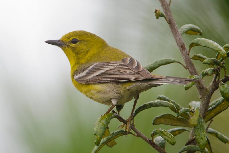 Warbler - Pine - Bald Point, FL