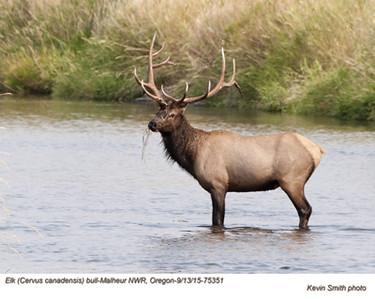 Elk B75351.jpg