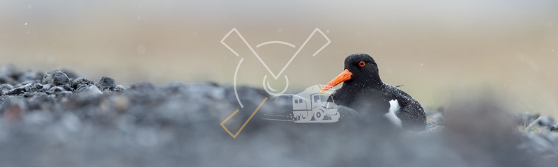 Breading oystercatcher in the Icelandic rain.