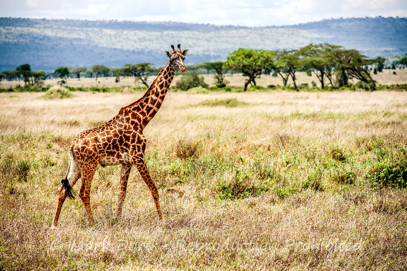 Giraffe, Serengeti, Tanzania