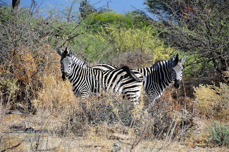 EPV1350 The Famous Two-Headed Zebra.jpg